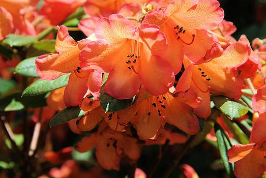 Orange Rhody by Michael Merry