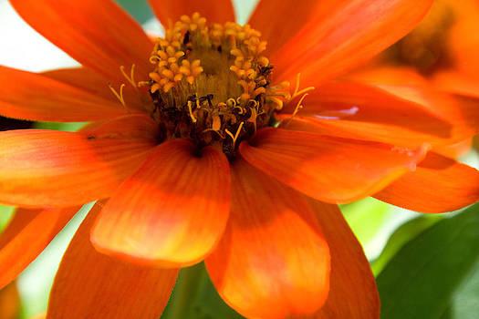 Orange Zinnia by Carol Hathaway