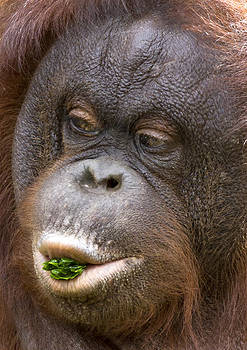 Orangutan by Mike Gorton