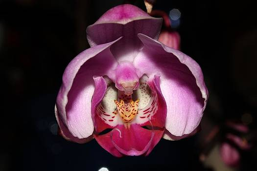 Orchid 2012 2 by Robert Morin