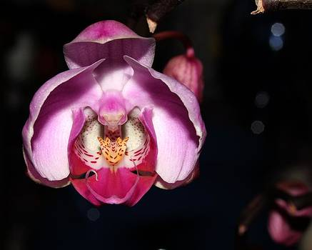 Orchid 2012 3 by Robert Morin