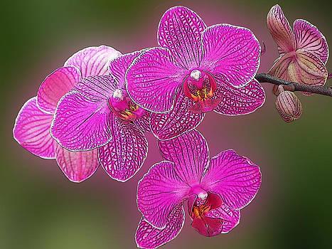 Orchid 4 by Jesus Nicolas Castanon