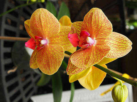 Leontine Vandermeer - Orchid at Marie Selby Botanical Gardens