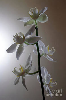 Orchid Bloom by Balanced Art