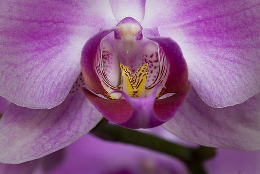 Orchid by Cindy Rubin