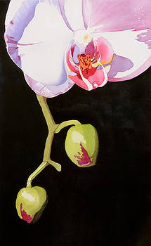 Orchid by Cynthia Sexton