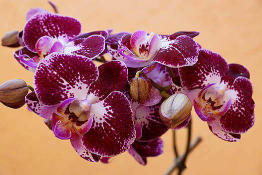 Orchid Elegance  by Carmen Del Valle
