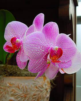 Orchid by Jennifer Stone