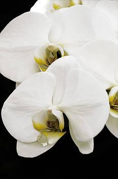 Orchid by Paul Plaine