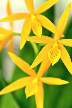 Orchid V by Floyd Menezes