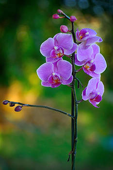 Zoran Buletic - Orchid