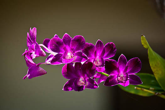 Orchids by Darren Strubhar