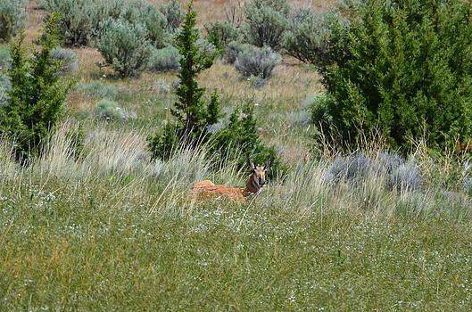 Oregon Antelope by Melissa  Maderos