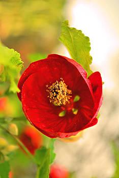 Michelle Cruz - Oriental Red Poppy