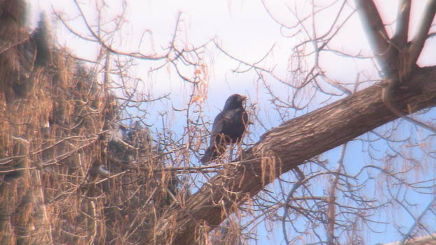 orignal for Black Bird Out On A Limb by Lani PVG   Richmond