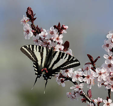 Lara Ellis - Ornamental Plum blossoms With Zebra Swallowtail
