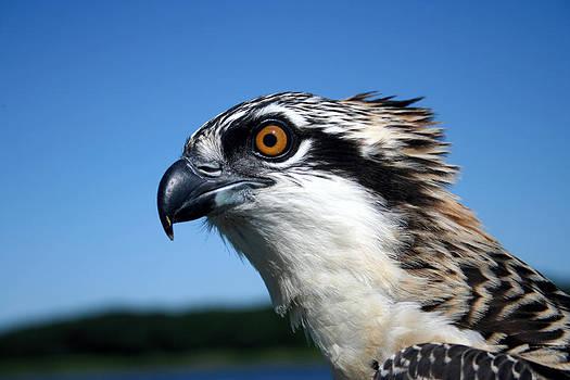 Osprey chick nesting by Mike Sav