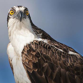Osprey Eyes You by Robert Wicker