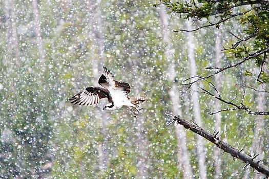Osprey Flight by David Yunker