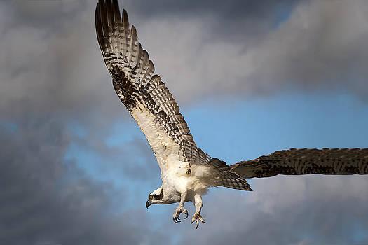 Osprey Flight by Robert Wicker