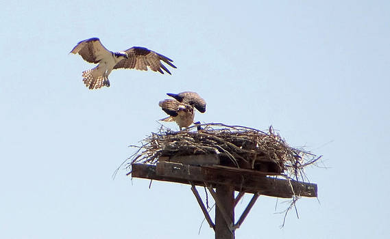 Osprey Hawk and Family by Margaret  Slaugh
