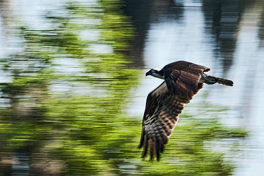 Osprey in Flight by Frank Feliciano