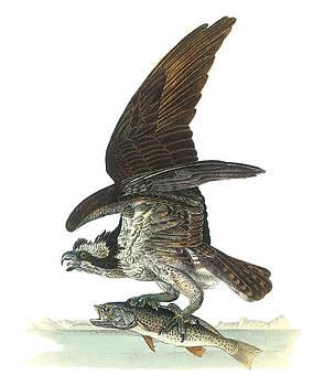 John James Audubon - Osprey