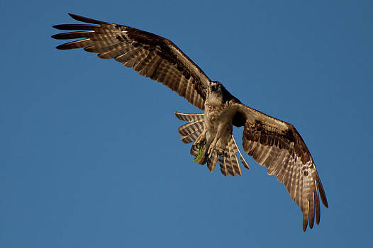 Osprey by Larry Hughes