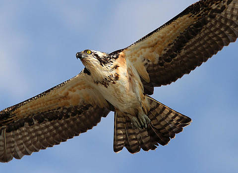 Osprey by Phil Lanoue