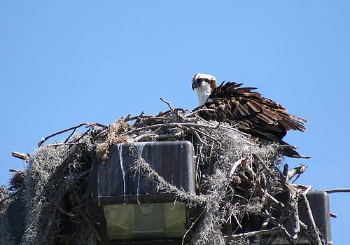Osprey Tending its Nest by April Wietrecki Green