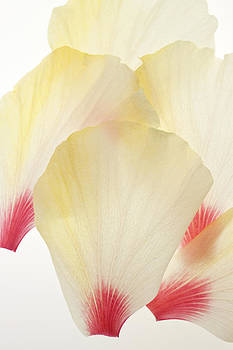 Overlapping Hibiscus by Brad Rickerby