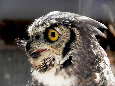 Owl 7  by Jesus Nicolas Castanon