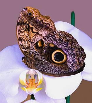 Owl Butterfly Caligo idomeneus menmon by Leslie Crotty