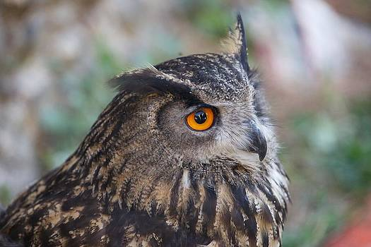 Owl close-up by Francesco Scali