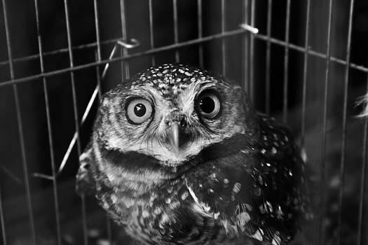Owl in cage by Promphong Hiruntanakitjakul