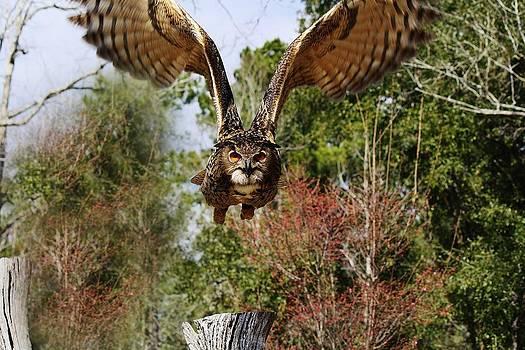 Paulette Thomas - Owl in Flight