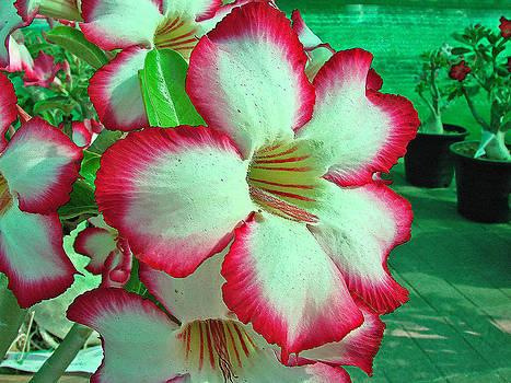 Roy Foos - Pachycaul Blossom