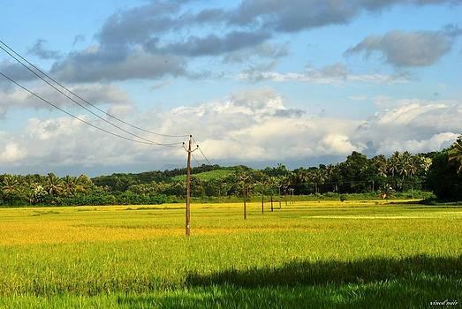 Paddy Fields by Vinod Nair