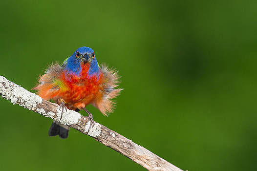 Painted Bunting Displaying by Ray Downs