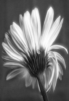 Painted Gerbera Daisy In Black And White by Jill Balsam