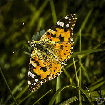 Painted Lady by Andy Stuart
