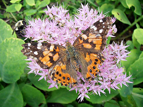 Kimberly Perry - Painted Lady Butterfly