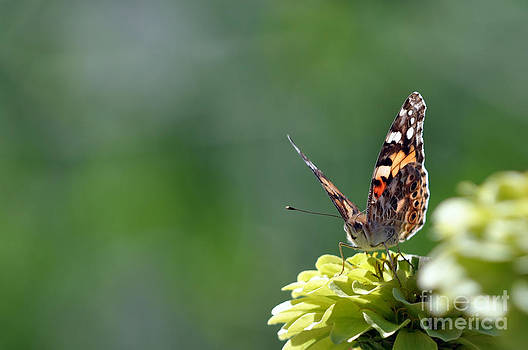 Painted Lady  by Laura Mountainspring