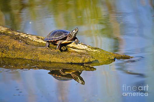 Christine Kapler - Painted Turtle sunbathing on a wooden log