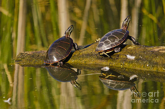 Christine Kapler - Painted turtles coming out of the water