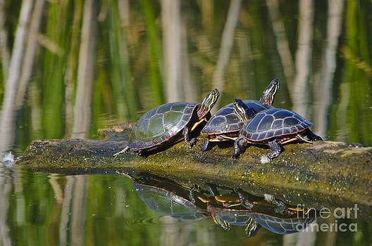 Christine Kapler - Painted turtles sunbathing on wooden log