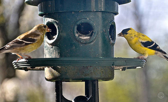 Pair of goldfinches at the feeder by Healing Woman