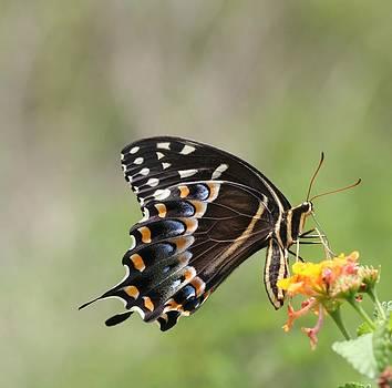 Palamedes Swallowtail by April Wietrecki Green