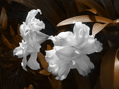 Pale Beauties in Sepia by Rebecca Blain