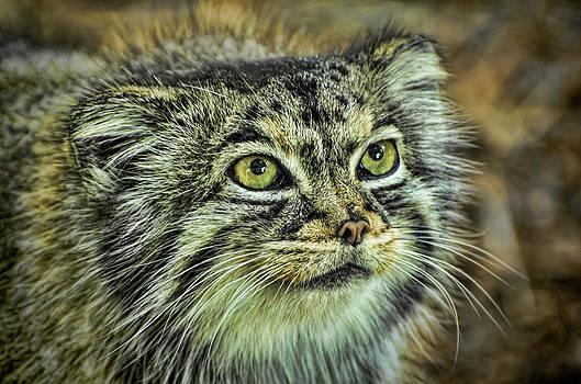 Heather Applegate - Pallas Cat